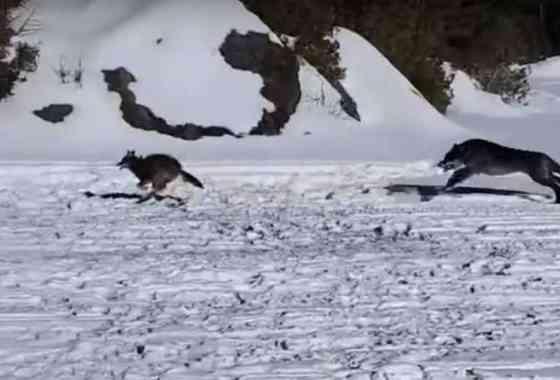 Lobo en persecución de un coyote pasa corriendo junto a un pescador