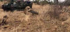 Facóquero escapa de un leopardo con la ayuda de una hiena