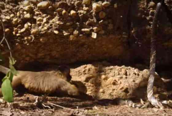 Monos capuchinos intentan robar a un roedor de las fauces una serpiente