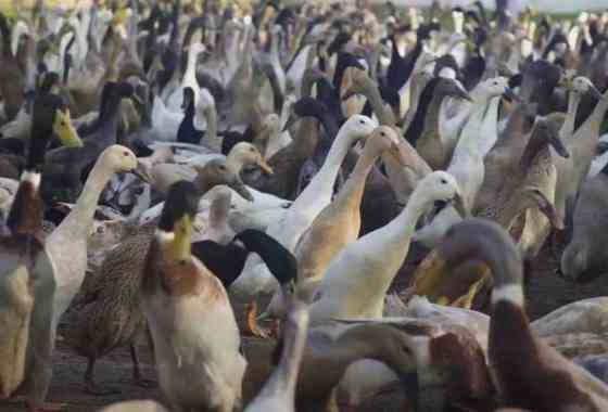 Una escuadra de patos contra las plagas