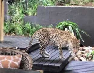 Leopardo se pasea tranquilamente frente a los comensales en un albergue en Sudáfrica