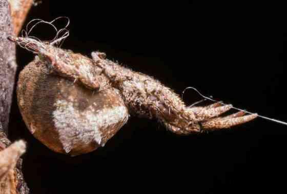 Astuta araña no tiene veneno... pero tiene una 'catapulta'