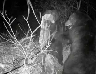 Una pelea transfronteriza de osos destruye la cerca entre Rusia y China
