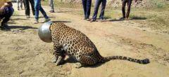 Sediento leopardo se atasca la cabeza en una olla
