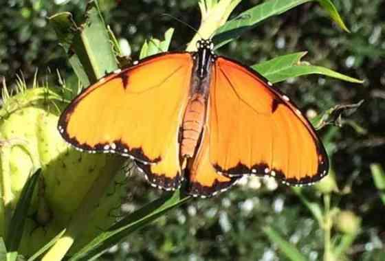 Pequeño microbio convierte a la mariposa Reina de África en una asesina de sus hijos machos
