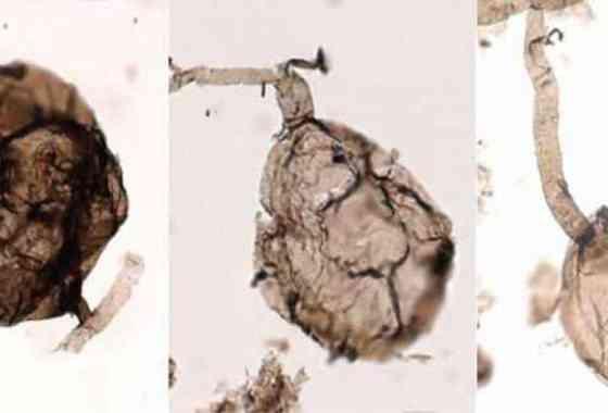 Descubren los fósiles más antiguos de vida multicelular en tierra