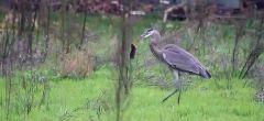 Descarado halcón roba la presa a una garza