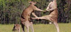 Boxeo entre canguros, o la suerte que tuvo un australiano al no defenderse el animal