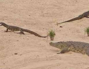 Crocodrilo intenta (y falla) proteger sus huevos de un par de lagartos monitores