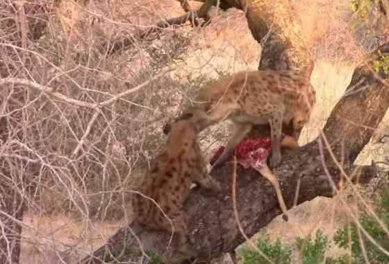 Hienas en dificultad para comer de un cadáver en un árbol