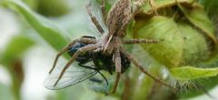 Horripilantes 'regalos de boda' protegen a las arañas macho de ser comidos