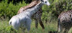 Increíblemente rara jirafa blanca descubierta en Tanzania