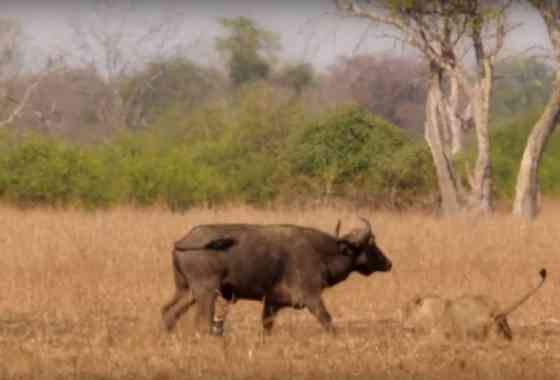 Épica batalla entre leones y búfalo