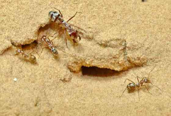 La hormiga más rápida del mundo registra una velocidad de carrera de 855 mm/s