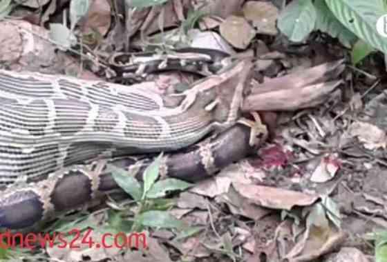 Serpiente pitón devora un ciervo en Bangladesh