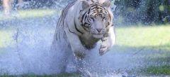 Tigres de Bengala corriendo de frente hacia la cámara