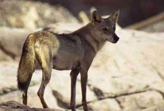 Lobo caza una cabra en dramática persecución entre peñascos