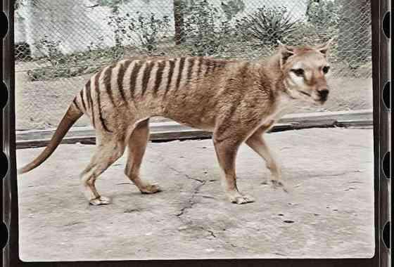 El extinto tigre de Tasmania cobra vida en imágenes en color