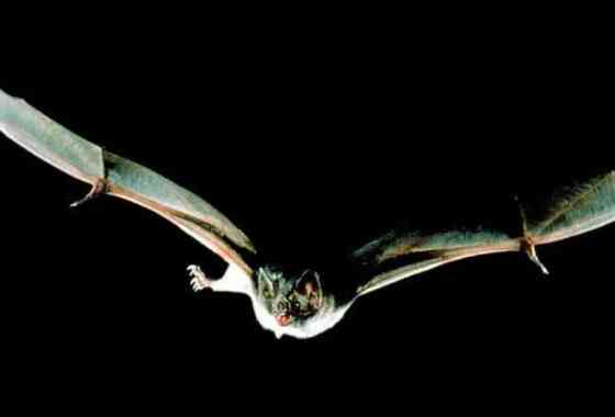 Los murciélagos portan el mayor número de virus que podrían saltar a los humanos