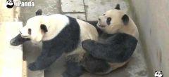 Pandas gigantes establecen un nuevo récord en una sesión de apareamiento