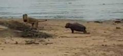 En medio de una sequía, un hipopótamo bebé ahuyenta a un león
