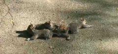 Cuatro pequeñas ardillas enredan sus colas en un extraño vídeo