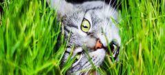 ¿Misterio resuelto? ¿Por qué los gatos comen hierba?