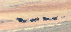 Lobos acosan a un oso grizzly en un dramático enfrentamiento en Yellowstone