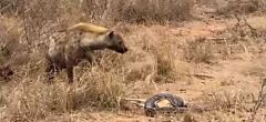 Serpiente pitón pierde su comida a manos de una hiena ladrona