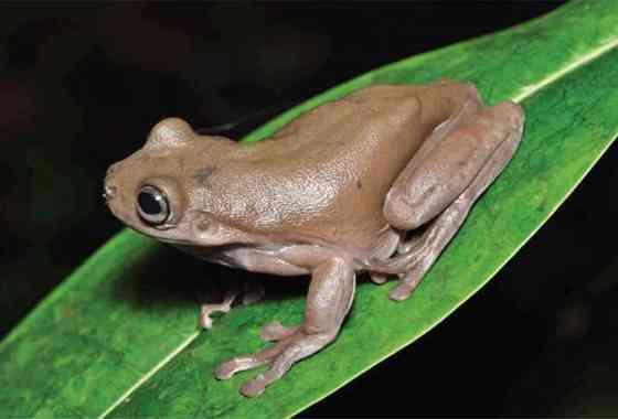 Descubren una 'rana de chocolate' en Nueva Guinea