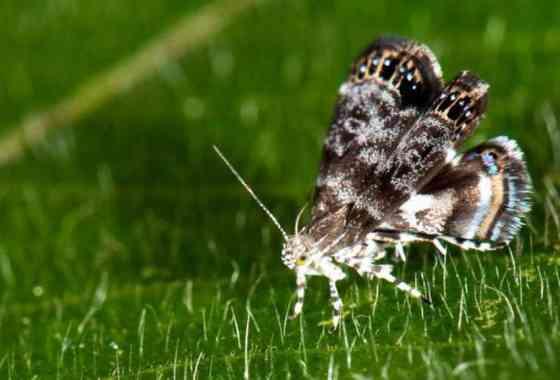 Ovejas con piel de lobo: Esta polilla podría pasar por una araña