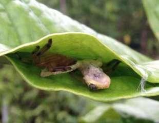 Araña cazadora teje una trampa de hojas especial para atraer a las ranas