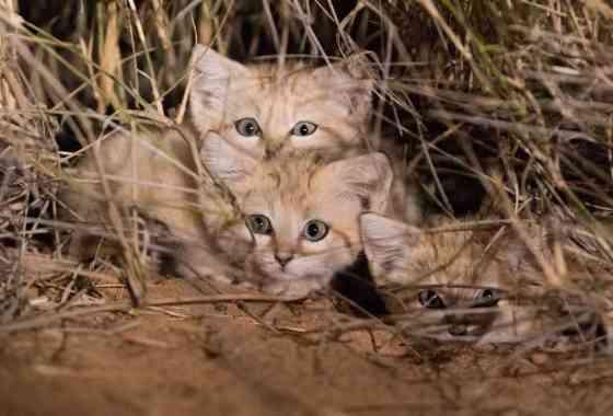 Adorables gatitos de las arenas filmados en el desierto del Sahara