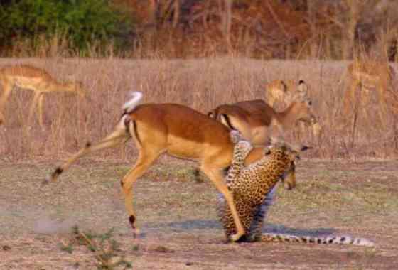 Impala escapa milagrosamente de las fauces de un leopardo