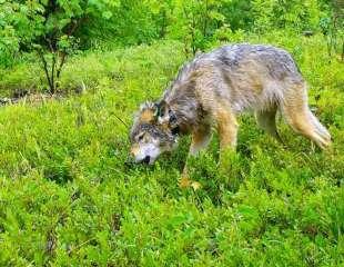 Los lobos regurgitan arándanos para que los coman sus cachorros