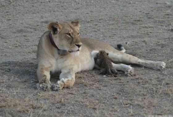 Visto por primera vez: Una leona amamanta a un pequeño leopardo